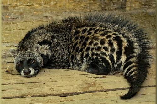 african civet cat looking towards the camera
