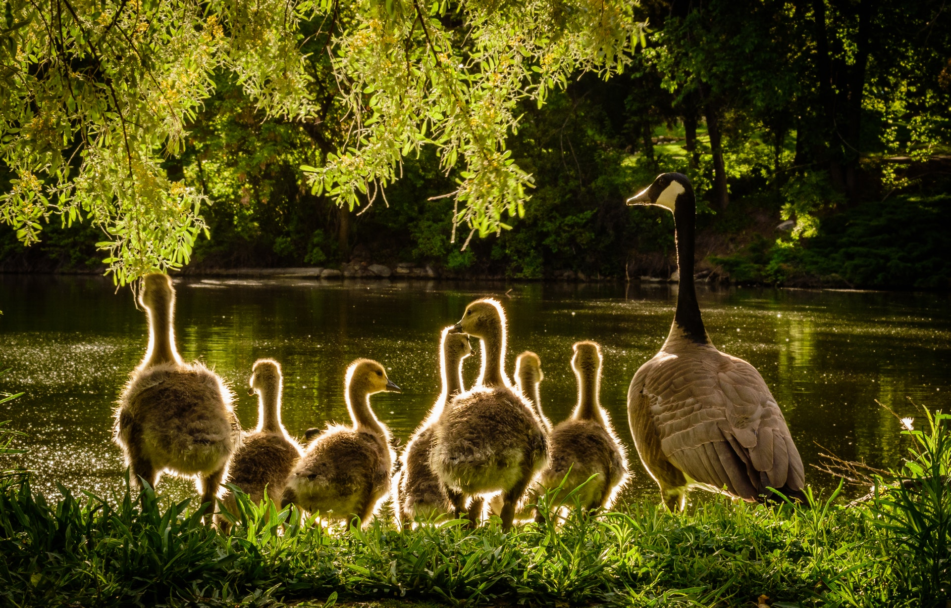 geese in light